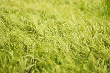 Free Swaying Barley Stock Photo - 877490