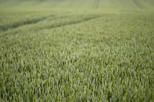 Free Field Of Summer Wheat 1 Royalty Free Stock Photo - 877495