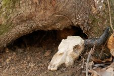 Free Skull Of Small Animal Royalty Free Stock Photography - 878487