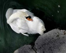 Free White Mute Swan Royalty Free Stock Images - 878509