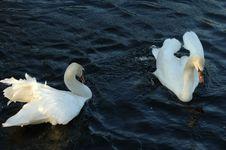 Free Swan Dance Stock Image - 878701