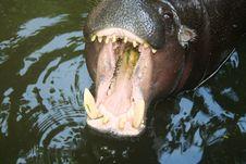 Free Hippo Stock Image - 879071