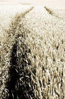 Free Wheat Field Royalty Free Stock Photos - 879408