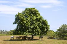 Free Cows In Shade Stock Image - 879601