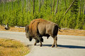 Free Road Bison Stock Photography - 8701042