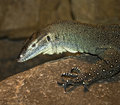 Free Monitor Lizard Stock Photos - 8708233