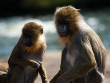 Free Colorful Mandrills Royalty Free Stock Image - 8704806