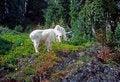 Free Curious Mountain Goats, Royalty Free Stock Photos - 8718308