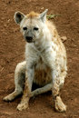 Free Cute Hyena Royalty Free Stock Images - 8719609