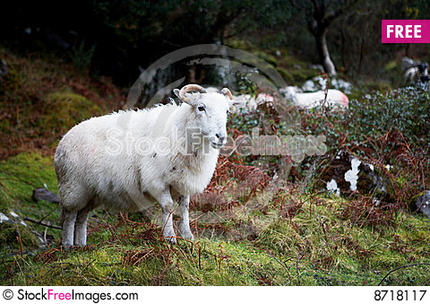 Free Sheep With Horns Royalty Free Stock Photography - 8718117