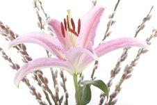 Stargazer Lily Flower Closeup Royalty Free Stock Photo