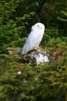 Free Snowy Owl Stock Images - 8713074