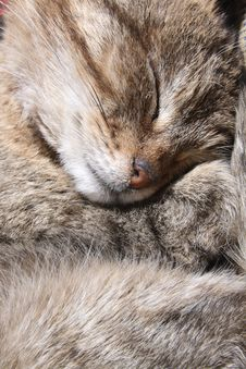 Free Sleeping Cat Royalty Free Stock Photography - 8716327