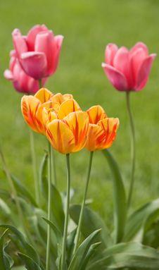 Free Spring Tulips Stock Image - 8716341