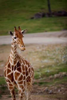 Free Giraffe Royalty Free Stock Photos - 8717408