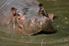 Free Hippopotamus Royalty Free Stock Photo - 8717835