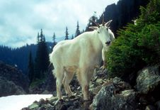Free Curious Mountain Goats, Royalty Free Stock Image - 8718336
