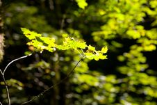 Free Bright Green Leaves Royalty Free Stock Photos - 8719818