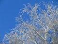 Free Frozen Birch Royalty Free Stock Photos - 8724518