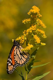Free Monarch Butterfly Stock Image - 8723651