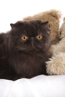 Free Long Haired Persian Cat Stock Images - 8724234