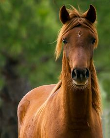 Free Chestnut Gelding Stock Images - 8724364