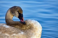 Free Trumpeter Swan Stock Image - 8724401