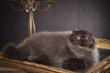 Long Haired Persian Cat Royalty Free Stock Image