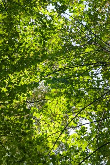 Free Trees Crown Royalty Free Stock Images - 8727389