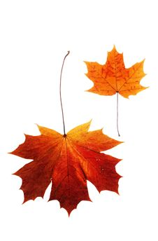 Free Maple Leaf Royalty Free Stock Images - 8727399