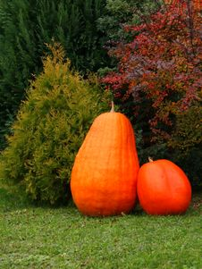 Free Pumpkins Royalty Free Stock Images - 8728359