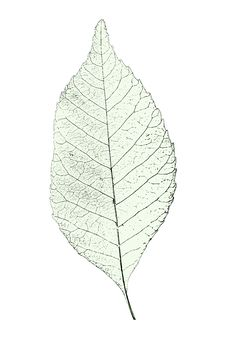 Free Leaf Over White Stock Photo - 8728830