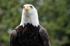 Free Bald Eagle Royalty Free Stock Photos - 8728948