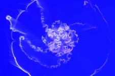 Free Moon Jellyfish Stock Image - 8728991