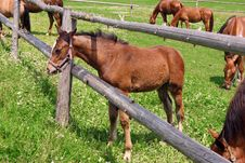Free Little Horse On The Green Field Royalty Free Stock Photos - 8729448