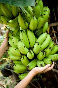 Free Banana Harvest Royalty Free Stock Image - 8729646
