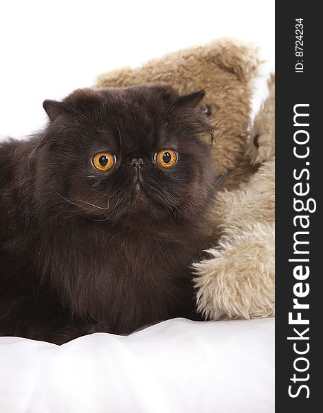 Long haired persian cat