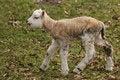 Free Cute Little Lamb Walking Stock Photo - 8734160