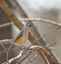 Free Tufted Titmouse Royalty Free Stock Photography - 8734937
