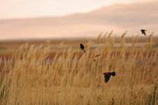 Free Red-winged Blackbirds Against An Amber Meadow Stock Photography - 8731302