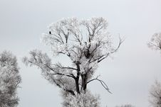 Free Bald Eagle Standing Watch On Frozen Tree Royalty Free Stock Photo - 8731715