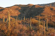 Saguaro Hills At Sunset Royalty Free Stock Photo