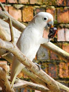 Goffin S Cockatoo (Cacatua Goffini) Royalty Free Stock Images