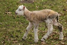 Free Cute Little Lamb Walking Stock Photo - 8734160