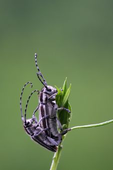 Free Cerambycidae Mating Stock Image - 8734891