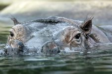 Free Hippo Stock Images - 8734934