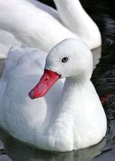 Free Plain White Duck Royalty Free Stock Image - 8734946