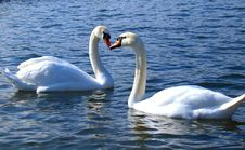 Free Heart Kissing Swan Royalty Free Stock Photos - 8735068