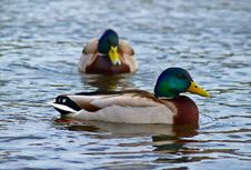 Free Ducks Swimming Stock Image - 8735641