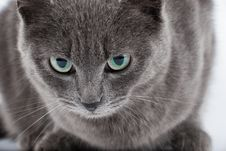 Free Grey Cat Royalty Free Stock Photography - 8736387